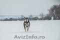 Femela Husky Siberian